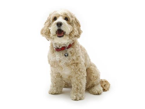 【犬首飾り】ケンブリッジサッチェル:SMALL