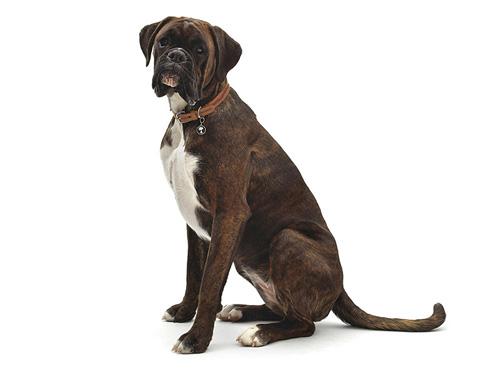 【犬首飾り】ケンブリッジサッチェル:MEDIUM